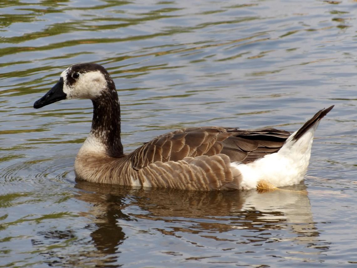 Greylag Goose x Canada Goose