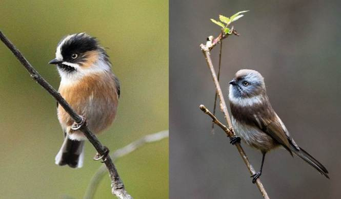 Black-browed Tit and Sooty Tit