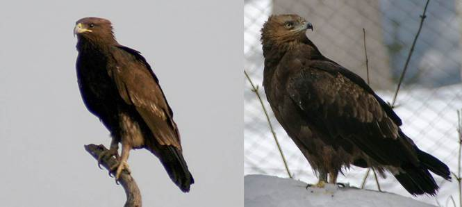 Greater (A. clanga) and Lesser Spotted Eagle (A. pomarina)