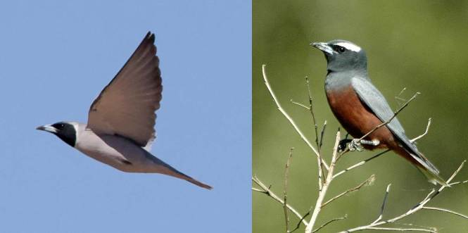 Masked Woodswallow and White-browed Woodswallow