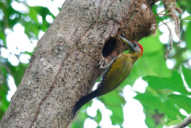bamboo-woodpecker.jpg