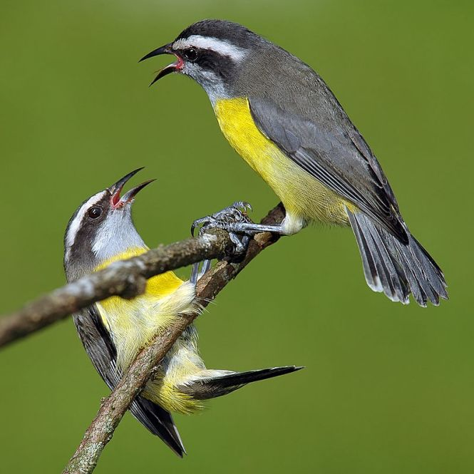 Two Bananaquits
