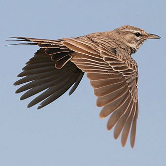 A flying Barlow's Lark