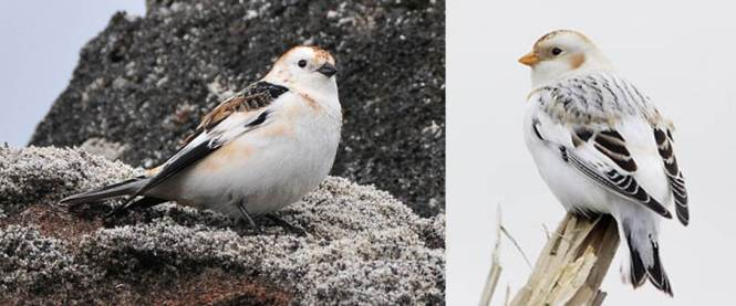 Snow Bunting and McKay's Bunting