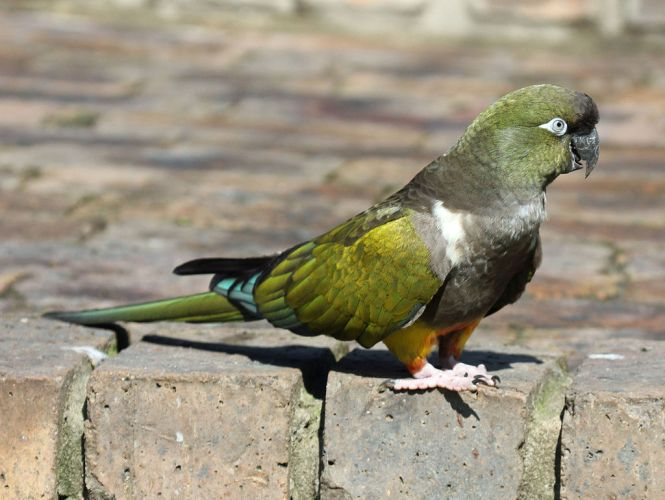 Burrowing_Parrot
