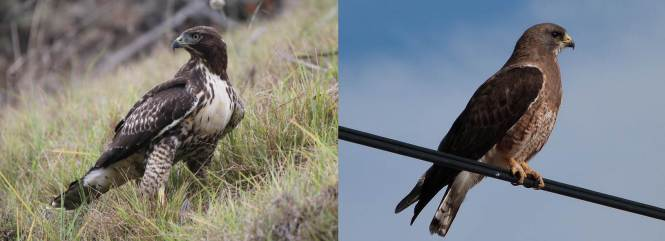Red-tailed Hawk (B. jamaicensis) and Swainson's Hawk (B. swainsoni)