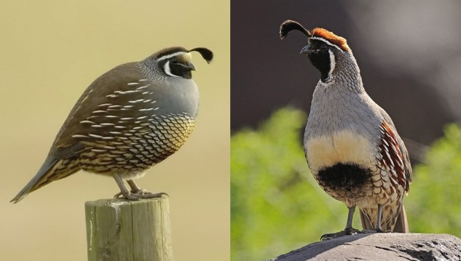 callipepla quails