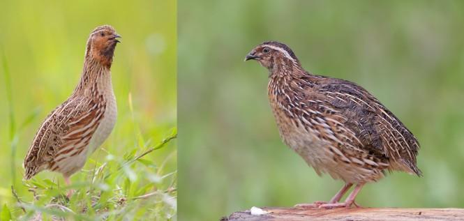 Coturnix quails
