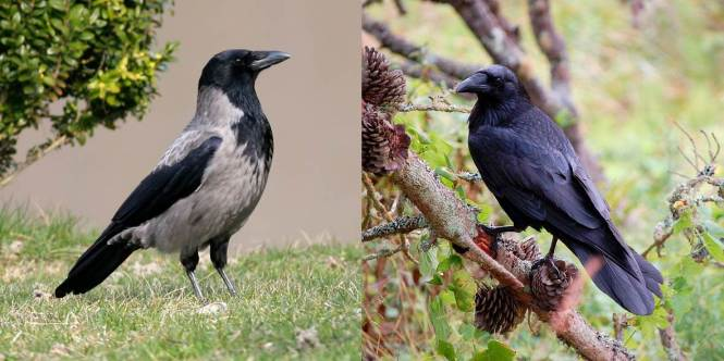 Hooded Crow and Carrion Crow