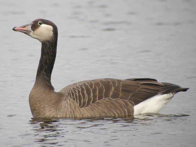 Hybrid between Greylag Goose (Anser anser) and Canada Goose (Branta canadensis)