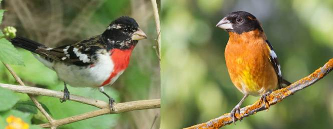 Rose-breasted Grosbeak and Black-headed Grosbeak