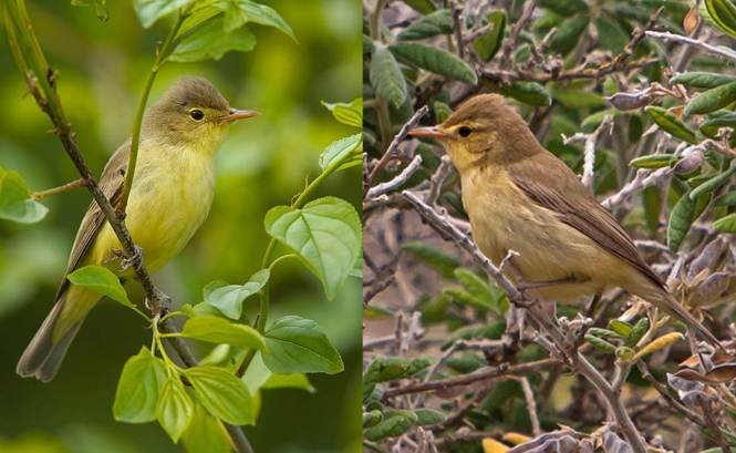 Icterine Warbler and Melodious Warbler