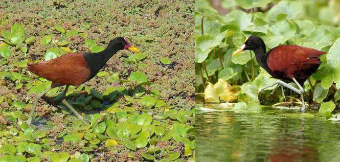 Jacana jacana and J. spinosa