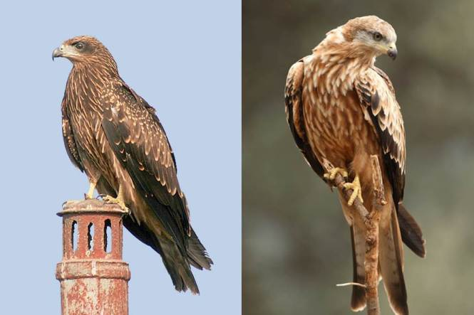 Black Kite (Milvus migrans) and Red Kite (M/. milvus)