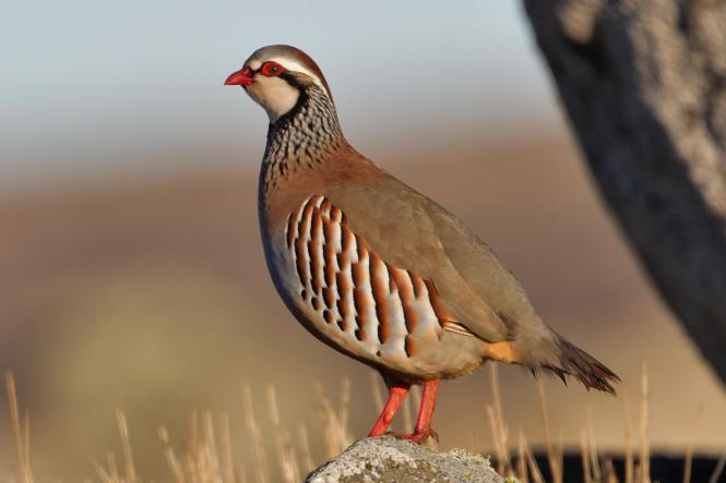 red-legged partridge.jpg