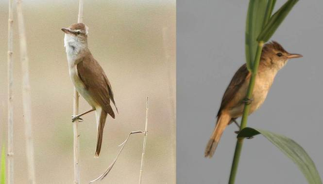 Great Reed Warbler and Clamorous Reed Warbler