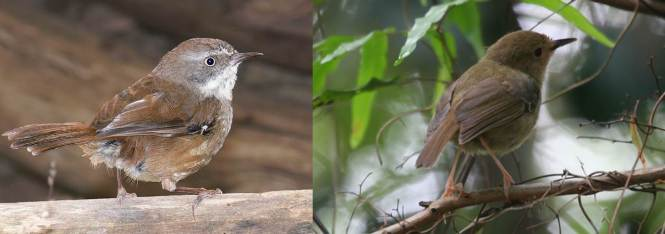 White-browed Scrubwren and Atherton Scrubwren