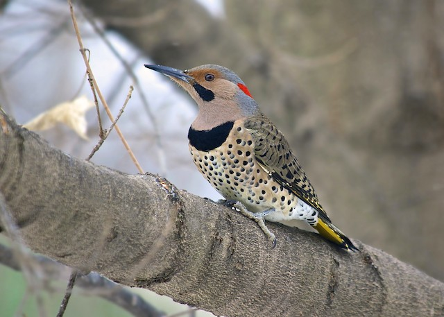 yellow-shafted flicker.jpg