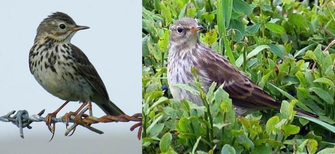 Meadow Pipit (Anthus pratensis) and Water Pipit (A. spinoletta)