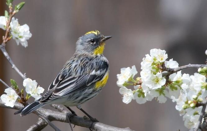 Audubon's Warbler (Setophaga coronata auduboni)