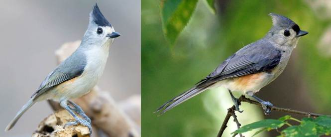 Black-crested Titmouse (Baeolophus atricristatus) and Tufted Titmouse (B. bicolor)