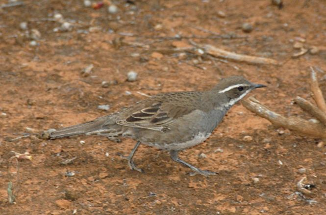 Chestnut-backed Quail-thrush (Cinclosoma castanotum)