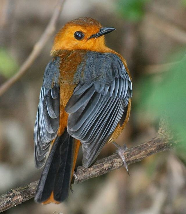Red-capped Robin-Chat (Cossypha natalensis)