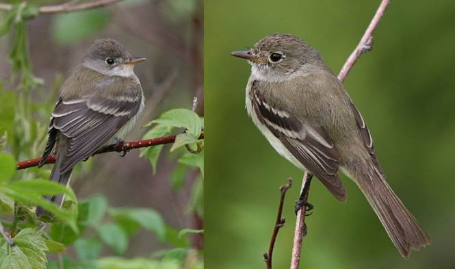 Willow Flycatcher (Empidonax traillii) and Alder Flycatcher (E. alnorum)