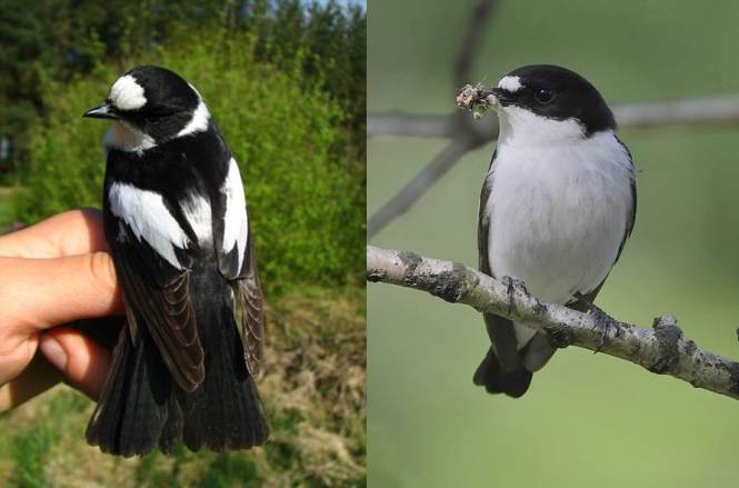 Collared Flycatcher (Ficedula albicollis) and Pied Flycatcher (F. hypoleuca)
