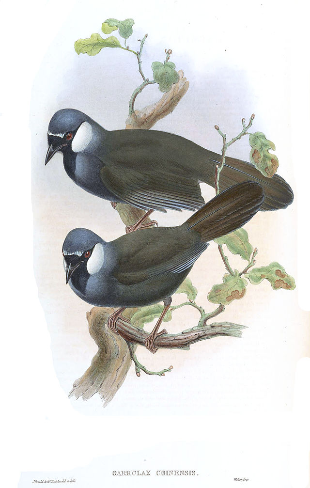 Black-throated Laughingthrush (Garrulax chinensis)
