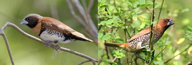 Chestnut-breasted Mannikin (Lonchura castaneothorax) and Scaly-breasted Munia (L. punctulata)
