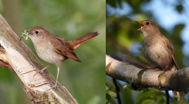 Common Nightingale (Luscinia megarhynchos) and Thrush Nightingale (L. luscinia)