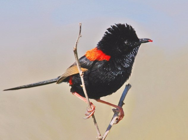 Red-backed Fairy Wren (Malurus melanocephalus)
