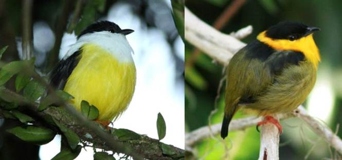White-collared Manakin (Manacus candei) and Golden-collared Manakin (M. vitellinus)