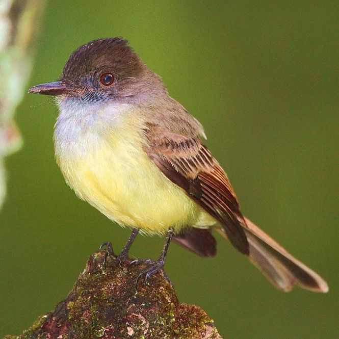The Dusky-capped Flycatcher (Myiarchus tuberculifer