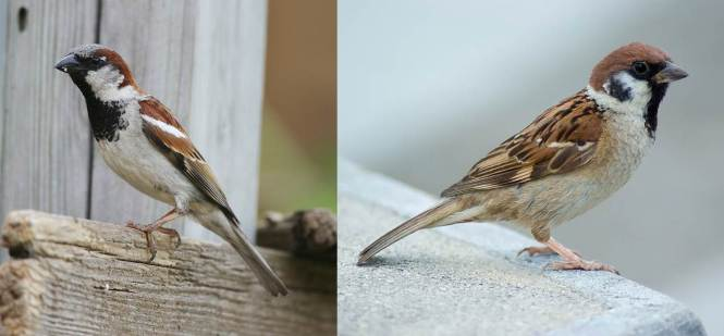 House Sparrow (Passer domesticus) and Eurasian Tree Sparrow (P. montanus)