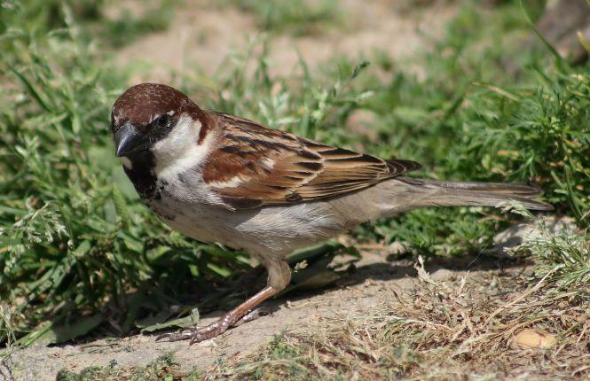 Italian Sparrow (Passer italiae)