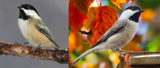 Black-capped Chickadee (Poecile atricapillus) and Carolina Chickadee (P. carolensis)