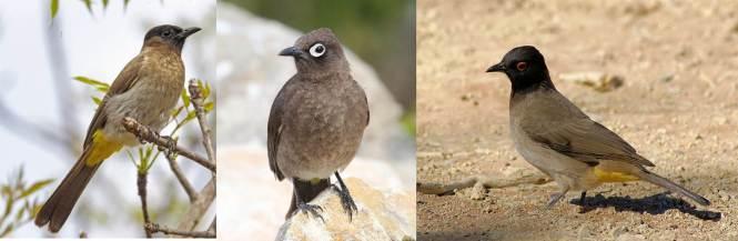 Black-eyed Bulbul (Pycnonotus barbatus), Cape Bulbul (P. capensis) and Red-eyed Bulbul (P. nigricans)