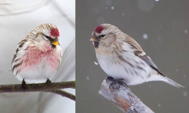 Common Redpoll (Carduelis flammea) and Arctic Redpoll (C. hornemanni)