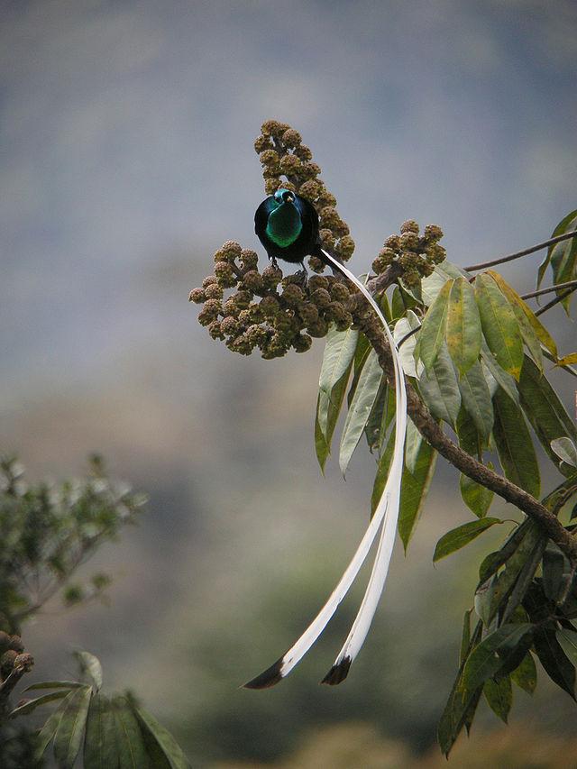 Ribbon-tailed Astrapia (Astrapia mayeri).