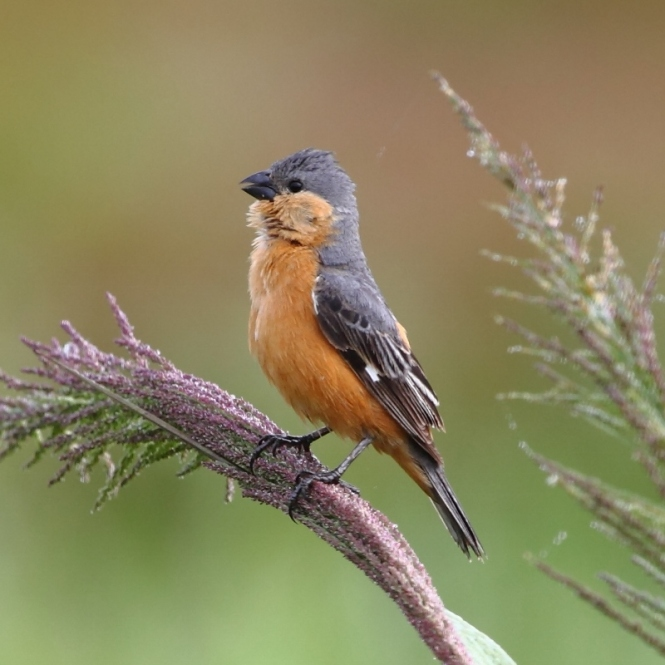 Tawny-bellied Seedeater (Sporophila hypoxantha)