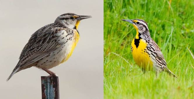 The Eastern Meadowlark (S. magna) and Western Meadowlark (S. neglecta)