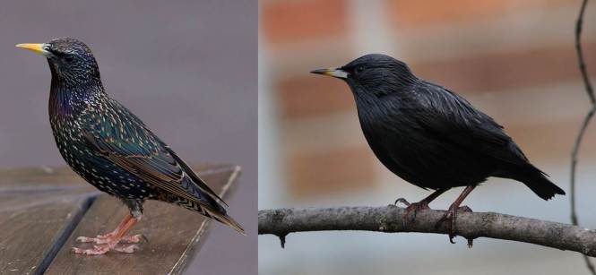 Common Starling (Sturnus vulgaris) and Spotless Starling (S. unicolor)