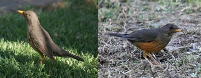 Karoo Thrush (Turdus smithi) and Olive Thrush (T. olivaceus)