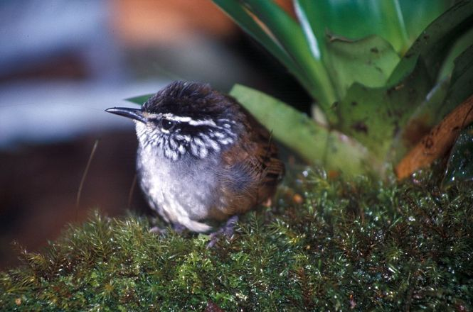 Gray-breasted Wood-wren (Henicorhina leucophrys)
