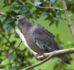Columbiformes (pigeons and doves)