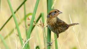 A Nelson's Sparrow (or is it a backcross?)