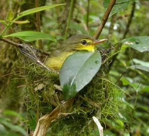 Short-billed Tetraka (X. zosterops) on the nest