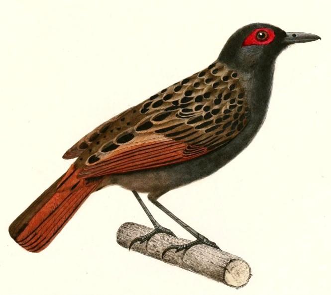 phlegopsis_nigromaculata_1847